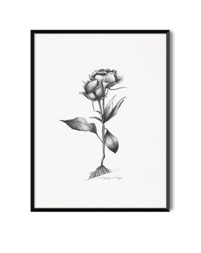 Lámina Rosas de la colección de láminas decorativas flores Botánica de Miluka. Lámina con marco negro