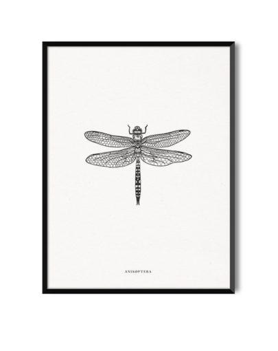Lámina decorativa ANISOPTERA de la colección de láminas decorativas de Miluka Insectos con marco negro