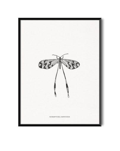 Lámina decorativa NEMOPTERA BIPENNIS de la colección de láminas decorativas de Miluka Insectos, con marco negro